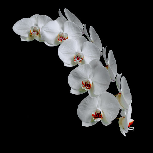 Flower Orchid 1