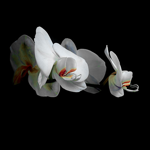 Flower Orchid profile
